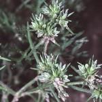 Scleranthus annuus photo