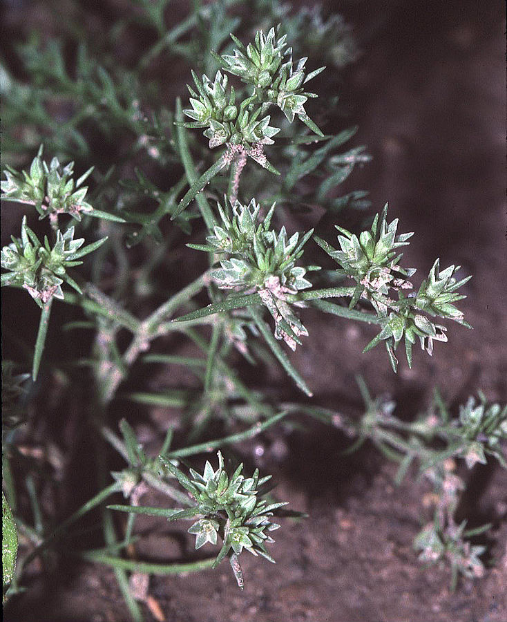 Scleranthus annuus photo