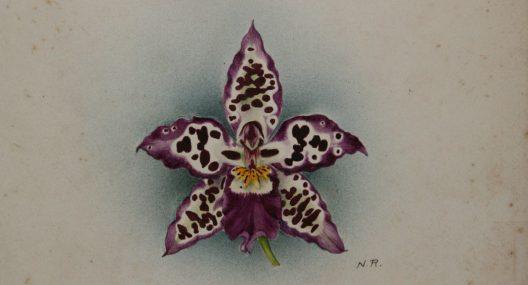 Odontoglossum Smithii