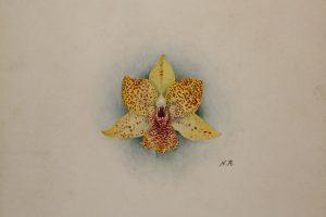 Promenaea Crawshayanum
