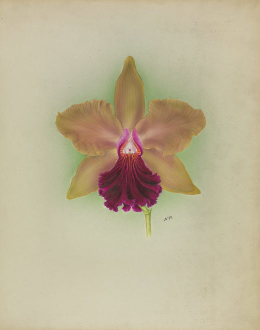nellie roberts orchid