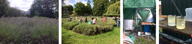 lavender harvest at vauxhall park